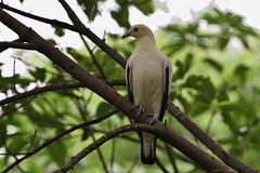 Pied Imperial Pigeon (scv1_2001) Tags: nikon nikon70200mmvrii nikond750 taipeizoo bird animal 台北市立動物園