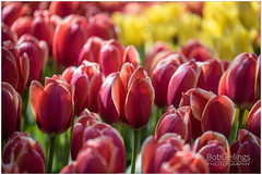 Happy Tulips (BobGeilings.nl) Tags: background beautiful blooming botany cherry color colorfull cultivated enviroment floral flower fresh garden grass green happy landscape light nature orange outdoor park romantic season spring springtime valentine way