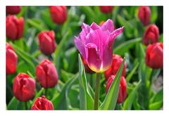Tulips (rafasmm) Tags: lodz łódź botanical garden poland polska park plant nature botanic flowers flower color