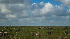 Oostvaardersplassen (Gerrit Veldman) Tags: flevoland nederland netherlands oostvaardersplassen konikpaarden konik horses staatsbosbeheer natuur nature natuurgebied landschap landscape lucht sky wolken clouds