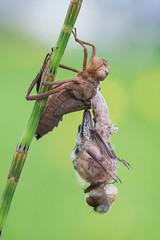 Cordulia aenea (Prajzner) Tags: corduliaaenea downyemerald dragonfly odonata sigma105mmmacro macro manfrottomt190xpro3 nikond7100 prajzner metamorphosis
