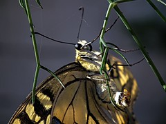 Swallowtail Egg Laying (Blues Views) Tags: butterfly europeanswallowtail collective52photoproject fujihs10camera bridgecamera fennel wildlife eggs layingeggs butterflylayingeggs fujifinepixhs10