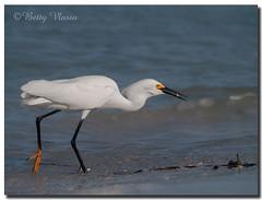Snowy Egret (Betty Vlasiu) Tags: snowy egret egretta thula bird nature wildlife florida