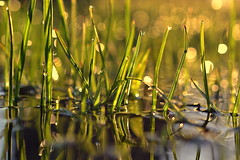 discovery (joy.jordan) Tags: grass dew puddle reflection light sunrise bokeh nature spring