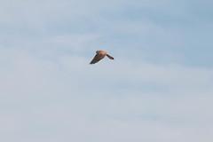 Aves del delta del Llobregat (efe Marimon) Tags: canoneos70d felixmarimon catalunya barcelona elprat deltadelllobregat parcnaturaldeldeltadelllobregat aves