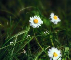 gouttes d'eau (ma03ri09n50) Tags: fleurs blanche white flower eau daisy gouttelettes deau ef100mmf28lisusmmacro eos5dsrcanon