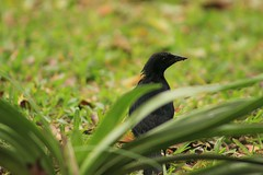 IMG_2864 (JennaF.) Tags: animal ave pajaro negro blackbird cesped plantas jardin horacio universidad antonio ruiz de montoya lima perú uarm