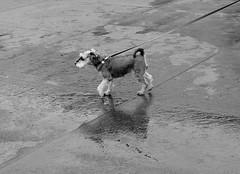 London (Salinkári) Tags: london trafalgarsquare street reflection dog streetphotography dogwalker rain puddle