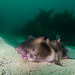 Lippy - Crested Hornshark, Heterodontus galeatus #marineexplorer