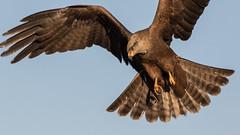 122.1 Zwarte Wouw-20170406-J1704-50666 (dirkvanmourik) Tags: blackkite corvisser ineziatoursgierenfotografiereisapril2017 milanonegro milvusmigrans spanje vogelsvaneuropa zwartewouw bird