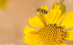 Signs of spring (Photosuze) Tags: beetles pollination flowers spotted sunflowers desert spring insects nature wildlife animals flora wildflowers