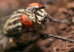 _DSC0068-1641 (SteveKenilworth2014) Tags: fly spider daddy longleg flower woodlouse macro
