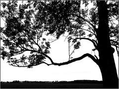 The shadow tree - Baumberger Aue / Urdenbacher Altrhein (KL57Foto) Tags: 2017 baumberg baumbergeraue deutschland düsseldorfhellerhof frühjahr frühling germany kl57foto lenz mai monheimbaumberg nrw natur nature nordrheinwestfalen rheinland spring umwelt urdenbach urdenbacheraltrhein urdenbacherkämpe monheim monheimamrhein