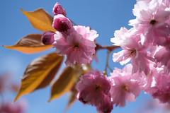 More blossom! (pbarlow1286) Tags: beyondbokeh blossom spring flowers petals summer britishsummer