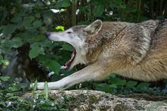 Grey Wolf - Loup gris (jymandu) Tags: wolf loupgris