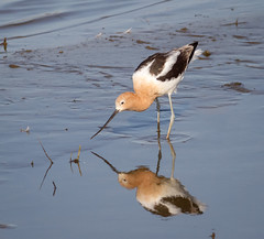 American Avocet feeding (tresed47) Tags: 2017 201704apr 20170411bombayhookbirds avocet birds bombayhook canon7d content delaware folder peterscamera petersphotos places shorebirds takenby us