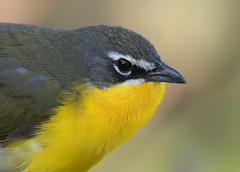 yellow breasted chat (Corey Hayes) Tags: songbird detail nature ohio