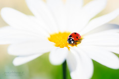 LadyBug! (Photosnap.it) Tags: canon bug flowers fiori primavera green beautiful yellow sky beauty spring color macro flower blue sun light closeup white colors insect garden colorful ladybug verde giallo macrophotography eos insetti 5d mark iii