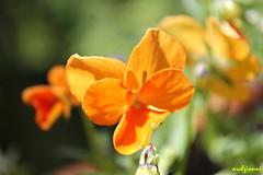 orange macro (archgionni) Tags: natura nature fiori flowers colori colours petali petals macro arancione orange