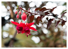 The hanging flowers (deslee74) Tags: singapore sg nikon d750 24120mm flower hanging