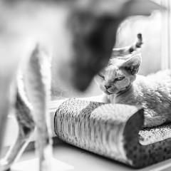 (uerbe) Tags: monochrome blackandwhite blackwhite animal pet feline cat cats light sun sunny contrast devon devonrex cornish cornishrex