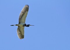"""Heron in flight • <a style=""""font-size:0.8em;"""" href=""""http://www.flickr.com/photos/30765416@N06/34031409040/"""" target=""""_blank"""">View on Flickr</a>"""