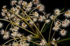 Pullea stutzeri (andreas lambrianides) Tags: pulleastutzeri cunoniaceae callicomastutzeri callicomastutzerivarsubpubescen callicomastutzeriglabrifolia hardalder arfp qrfp australianrainforests australianrainforestplants australianrainforestflowers arfflowers australianflora australiannativeplants tropicalarf lowlandarf uplandarf whitearfflowers