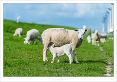 _DMC0358 (duncen.mcleod) Tags: 70200 70200f28 adorable animal blauw boerderijdieren clouds cute d4 dier europa farmanimals green groen grün holland lam lammertjes mills molens mühle mühlen nederland niederlande nikkor nikon noordoostpolder nutstier paysbas schaap schapen schattig schäf sheep sky tier uitzicht wolken