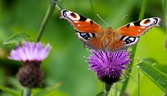 ready to take off (alain01789) Tags: papillon butterfly io paondujour macro proxyphoto insecete animal wildlife nature velvia