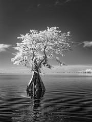 Solo Cypress (Ed Rosack) Tags: cypress usa landscape blackandwhite infrared calm cloud water sky bluecypresslake centralflorida lake tree ©edrosack florida bw cloudy ir verobeach