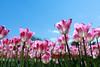 IMG_1421 (Jun.Ohashi) Tags: flower showacommemorativenationalgovernmentpark showakinenpark sunny tulip チューリップ 昭和記念公園 晴れ 花 昭島市 東京都 日本 jp sigma35mmf14dghsmart sigma シグマ 35mm f14 dg hsm art canon キャノン eos eos5dmarkiv eos5dmark4 5dmarkiv 5dmark4 5d4