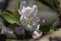 IMG_4877 (J.Gargallo) Tags: flor flores flower flowers manzano arbol frutal macro macrofotografía castellón castellóndelaplana españa eos eos450d 450d canon canon450d tokina tokina100mmf28atxprod