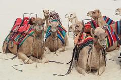 G'day (Rose Slr) Tags: newsouthwales australia portstephens sanddunes annabay traveling travel beach dunes sand sitting animals animal camels camel