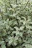 Pittosporum tenuifolium 'Marjory Channon' (MGormanPhotography) Tags: pittosporum tenuifolium marjorychannon pittosporaceae tawhiwhi kohuhu variegated green lime cream foliage dark black stem