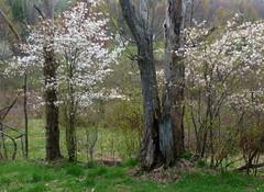 Shadbush in bloom (edenseekr) Tags: shadbush white floweringtrees nystate countryside