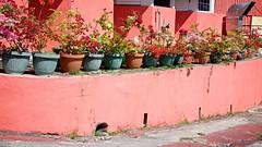 Barbados Bougainvillea (The Good Brat) Tags: bridgetown barbados bougainvillea spectabilis flowering vine apartment island colorful flowers travel