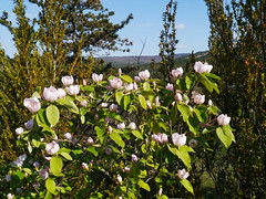 Quince (Cydonia oblonga), Pebrieres (Niall Corbet) Tags: france occitanie languedoc roussillon aude pebrieres quince cydoniaoblonga