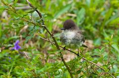 Eastern Phoebe (ramseybuckeye) Tags: eastern phoebe bird blendon woods metropark columbus ohio pentax nature art life