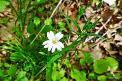 in der Drover Heide (mama knipst!) Tags: wildblume wildflower droverheide frühling spring natur