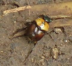 Scarabaeoidea; 20170429; PA-Colón-Gamboa (plantpollinator) Tags: coleoptera insect scarabaeoidea