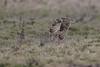 R17_6573 (ronald groenendijk) Tags: cronaldgroenendijk 2017 asioflammeus rgflickrrg animal bird birds birdsofprey groenendijk nature natuur natuurfotografie outdoor owl owls ronaldgroenendijk roofvogels shortearedowl velduil vogel wildlife