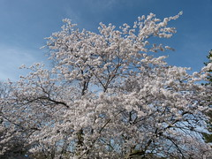 Cherry Blossoms - full bloom (Toats Master) Tags: cherry blossoms highpark trees cherryblossoms