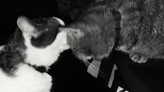 Franzl, talking about a date with Lilli (Newsprint) (Yberle.Foto) Tags: katze cat kater bw sw blackwhite