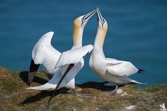 Love Dance......... (klythawk) Tags: gannets morusbassanus mating inlove wildlife nature spring grass sea sunlight blue green orange brown black white grey olympus em1mkll omd 100400mm panasonic rspb bemptoncliffs eastriding yorkshire klythawk