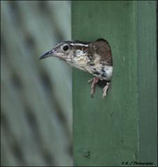 Peek-a-Boo (John Neziol) Tags: kjphotography carolinawren wren brantford bird birdhouse nikon nikoncamera nikondslr feathers beak ontario outdoor