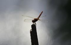 Le Sympetrum rouge-sang (Sympetrum sanguineum) (ram8t) Tags: rouge libellule laos 4000 iles insecte volant