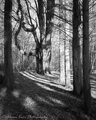 Light & Dark (.Brian Kerr Photography.) Tags: scotland scottish scottishborders scotspirit scotspines tree light dark dumfriesandgalloway dgwgo visitscotland landscapephotography photography outdoor outdoorphotography nature naturallandscape natural briankerrphotography sony a7rii availablelight blackandwhite monochrome mono woodland forest plant