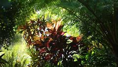 Red leaves among the green (judith511) Tags: flickrlounge weeklytheme naturalframing croton ferntree garden