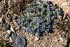 _MG_0923a (markbyzewski) Tags: mountevans denver colorado flower blue tundra quarter