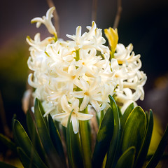 heavenly hyacinth (JimfromCanada) Tags: white cream glow flower petal floret leaf stem plant garden pretty ontario canada